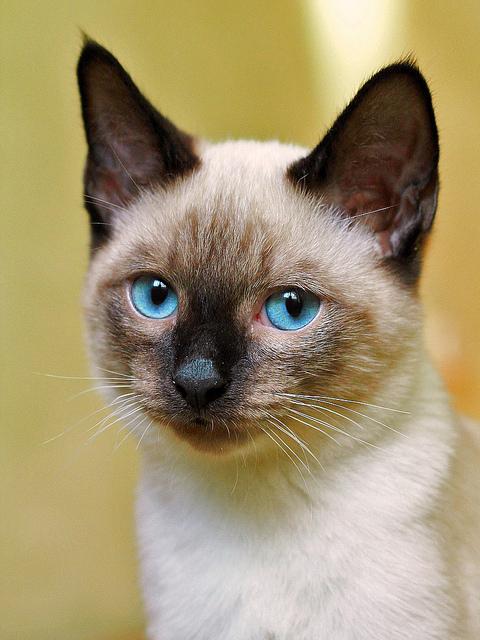 シャム,猫,画像,貼っていく069