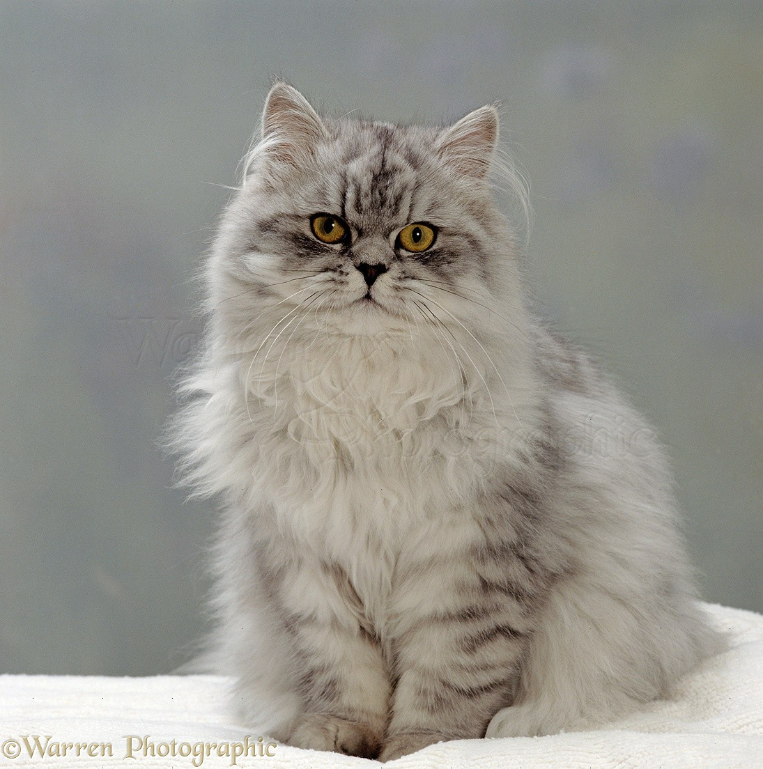 Domestic Cat {Felis catus} Silver tabby chinchilla-cross-persian in full coat