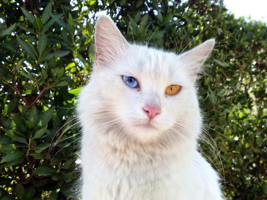 ターキッシュアンゴラ,画像,貼っていく,猫074