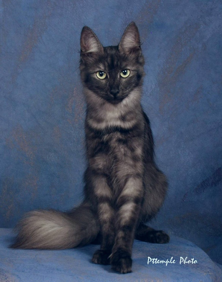 ターキッシュアンゴラ,画像,貼っていく,猫085
