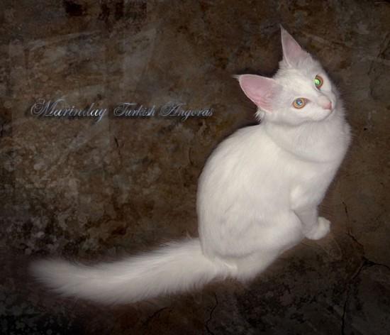 ターキッシュアンゴラ,画像,貼っていく,猫089