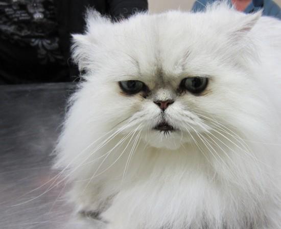 ペルシャ猫,画像,貼っていく096
