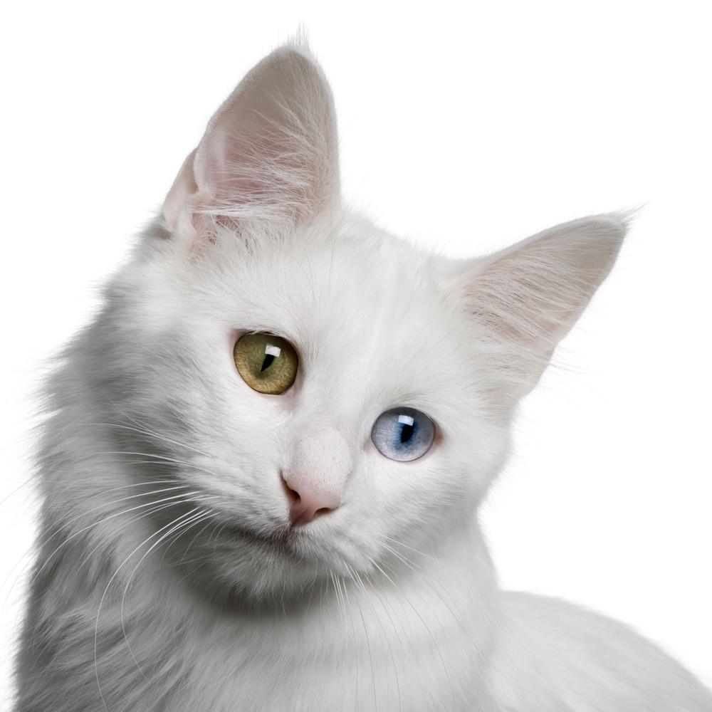 ターキッシュアンゴラ,画像,貼っていく,猫105