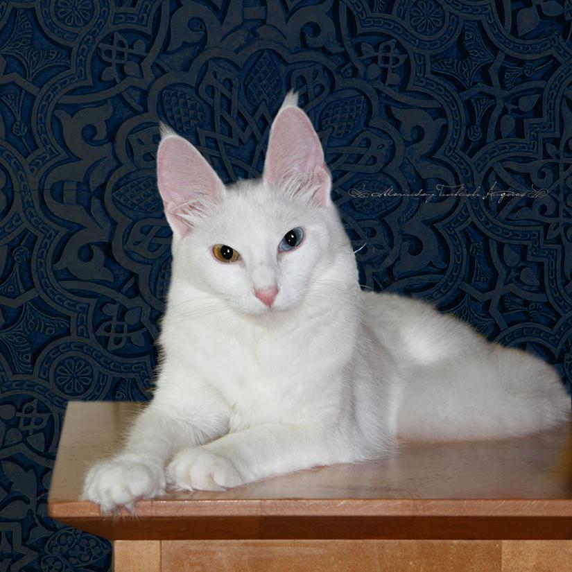 ターキッシュアンゴラ,画像,貼っていく,猫109