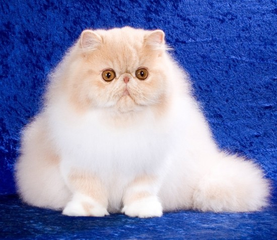 ペルシャ猫,画像,貼っていく114