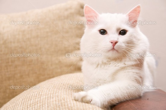 ターキッシュアンゴラ,画像,貼っていく,猫116