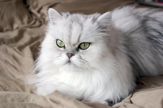 ペルシャ猫,画像,貼っていく118