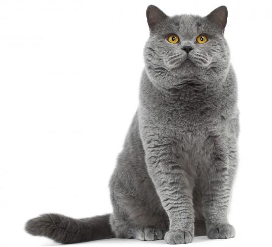 ブリティッシュショートヘア,猫,画像,貼っていく119