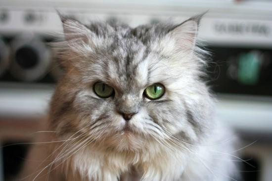 ペルシャ猫,画像,貼っていく127