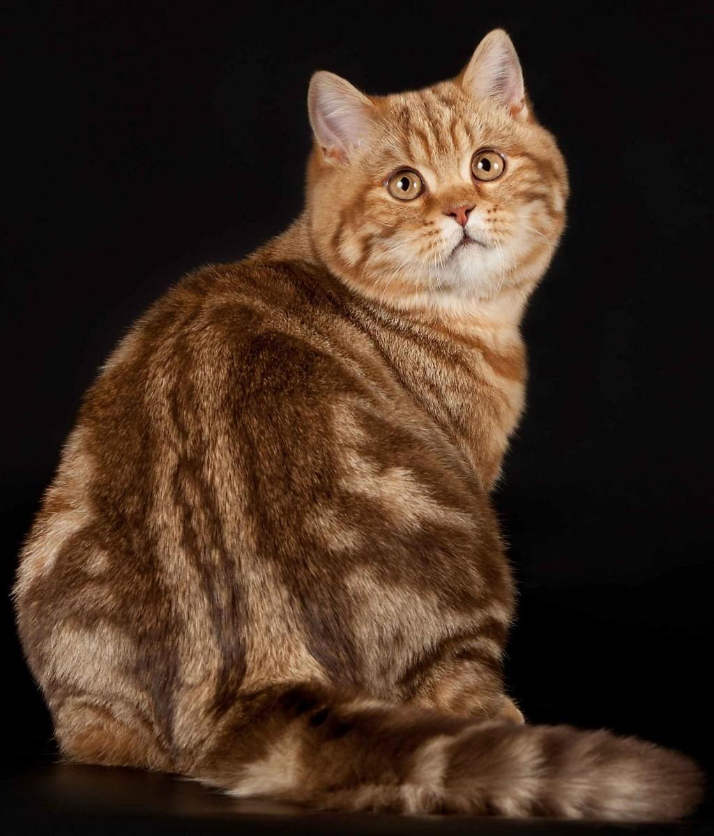 ブリティッシュショートヘア,猫,画像,貼っていく129