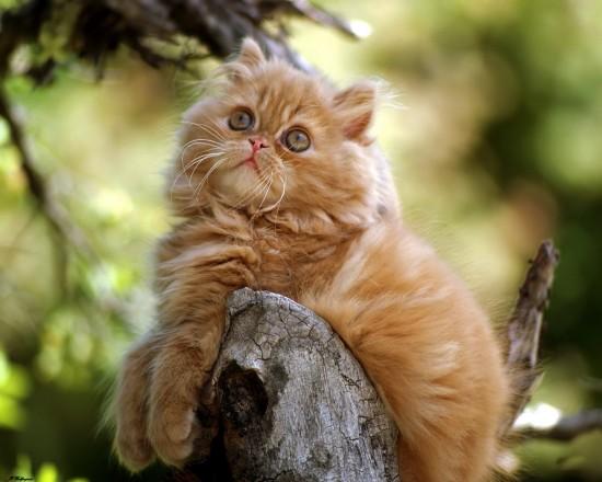 ペルシャ猫,画像,貼っていく134