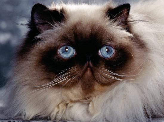 ペルシャ猫,画像,貼っていく143