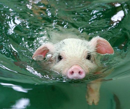 豚の赤ちゃんのスイミング