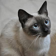可愛すぎ,シャム,猫,画像,貼っていく019