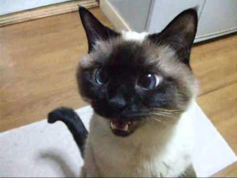 可愛すぎ,シャム,猫,画像,貼っていく063