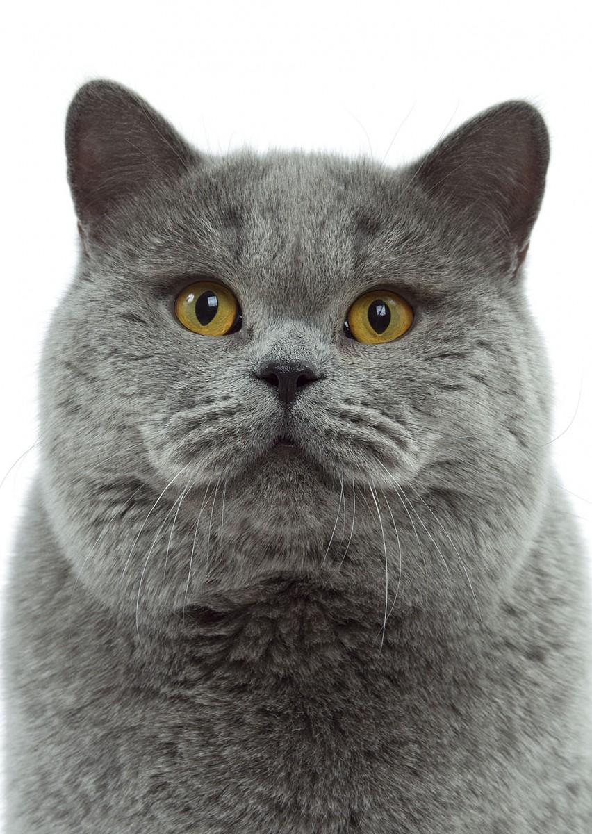 可愛すぎ,ブリティッシュショートヘア,猫,画像,貼っていく078