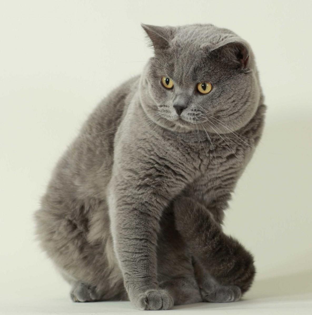 可愛すぎ,ブリティッシュショートヘア,猫,画像,貼っていく133