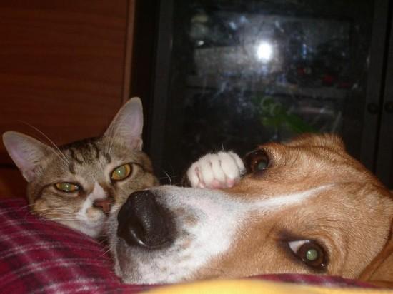 可愛すぎ,ビーグル,犬,画像,まとめ